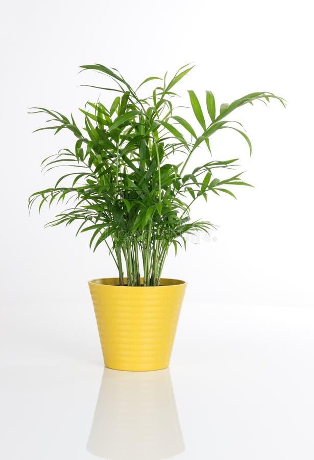 一个黄色罐的美丽的植物 免版税库存照片