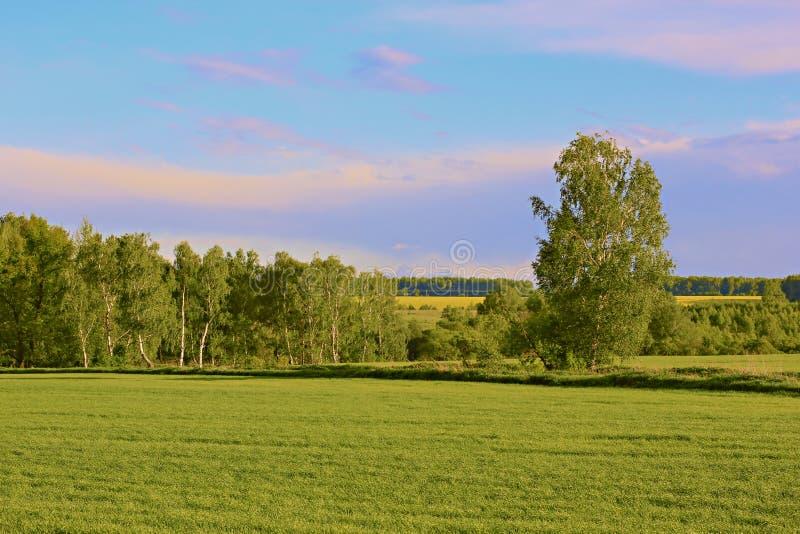 一个绿色草甸的桦树树丛在春天 库存图片