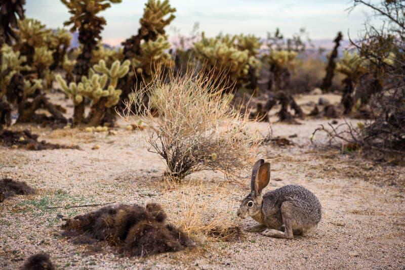 一个black-tailed长耳大野兔坐一串足迹在约书亚树国家公园 免版税图库摄影