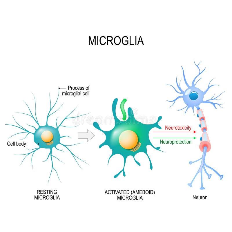 一个microglial细胞的活化作用 皇族释放例证