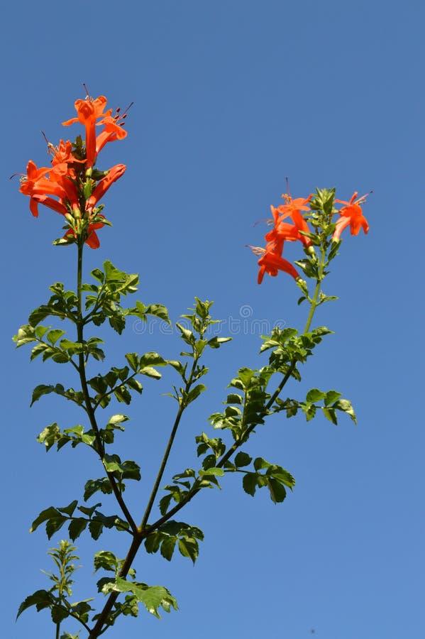 一个Tecoma海角分支的特写镜头在绽放,海角忍冬属植物,自然的 免版税库存照片