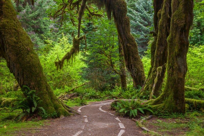 一串足迹通过可可西里山雨林在奥林匹克国家公园,是 图库摄影