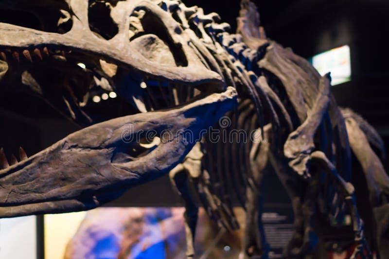 一些恐龙化石复制品照片  库存照片