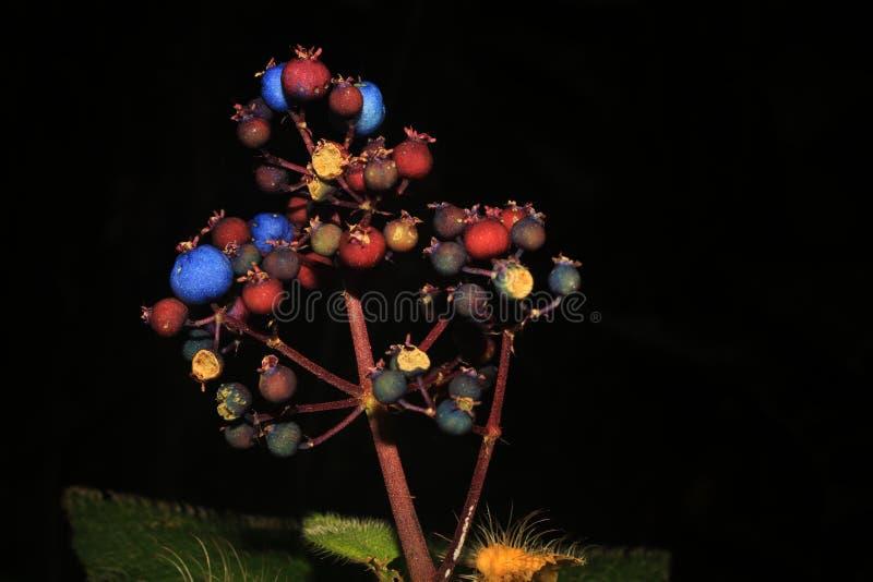 一些是成熟的蓝色,红色和黑莓果和一些是未成熟的 免版税图库摄影