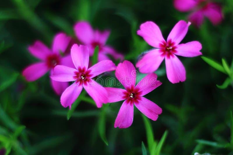 一些桃红色花在庭院里 免版税库存图片