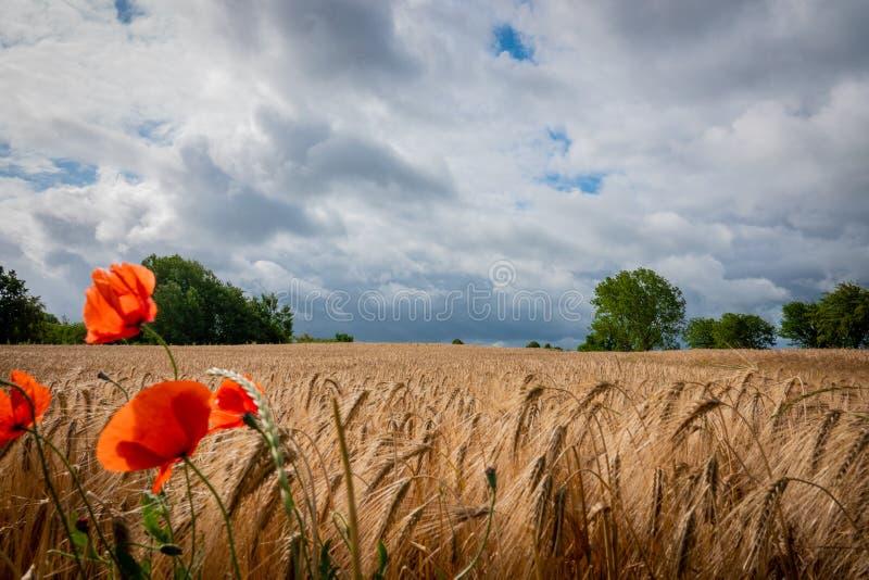 一些红色鸦片在一个棕色玉米田前面站立,并且天空乌云有很多 免版税库存照片
