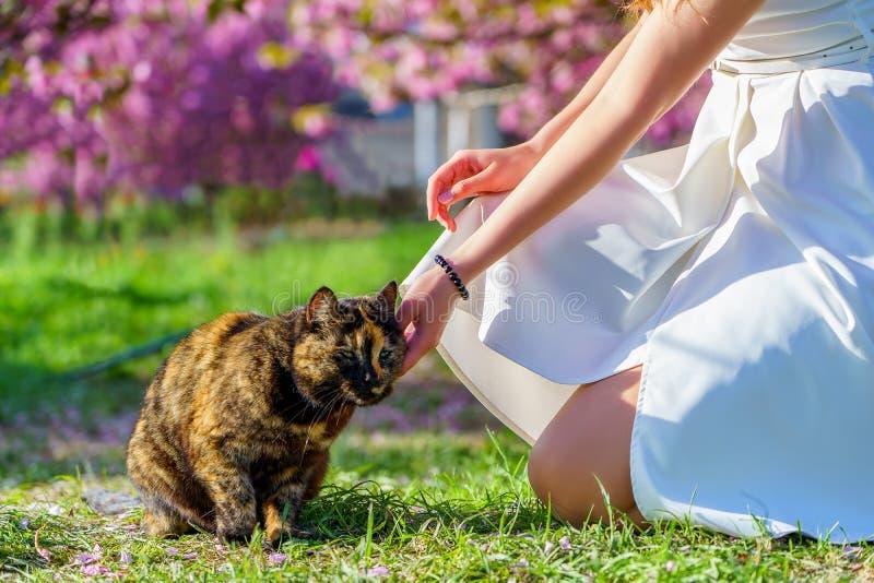 一件白色礼服的女孩在太阳光的庭院里爱抚棕色红色被察觉的猫在与开花桃红色树的绿草 免版税库存照片