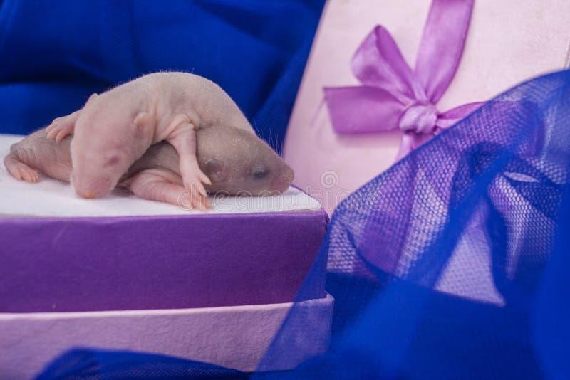 一件礼物的概念新出生的 小鼠在礼品包装材料睡觉 库存图片
