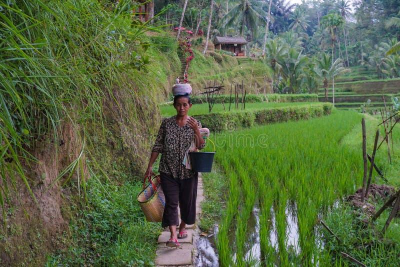 一位不明身份的巴厘语米农夫摆在一个早晨的工作期间在Ubud,巴厘岛,印度尼西亚,09附近 08 2018年 免版税库存图片