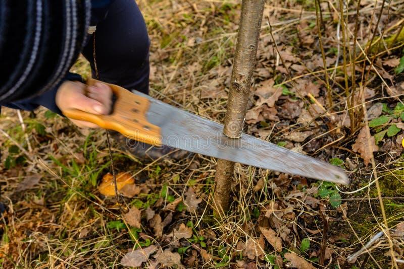 一位女性花匠在庭院里削减一只手在年轻的庭院里,肥沃果树的接种的非肥沃树 免版税库存图片