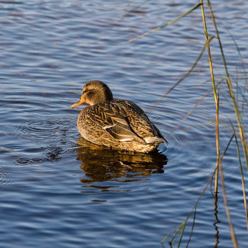 一位美丽的野鸭女性在水中 免版税库存图片