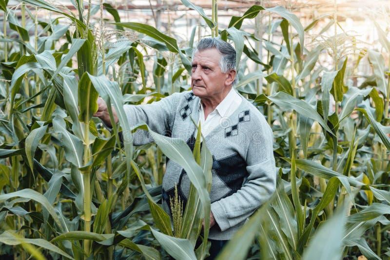 一位老灰发的农夫在玉米庭院里 检查植物的情况 体力活儿和家庭菜园的概念 免版税图库摄影
