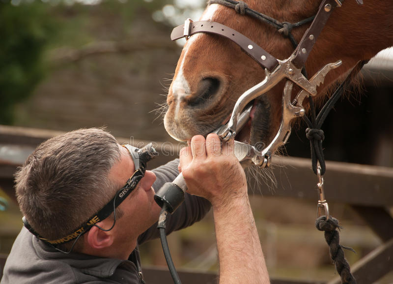 从一位马专家的牙齿治疗 库存图片