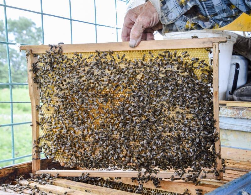 一位年长蜂农拿着与蜂的蜂的蜂窝在他的手上 蜂详述蜂蜜查出的宏指令被堆积的非常白色 格言 免版税库存照片