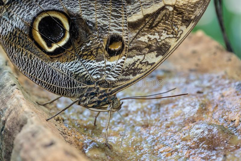 一共同七叶树蝴蝶哺养 免版税库存照片