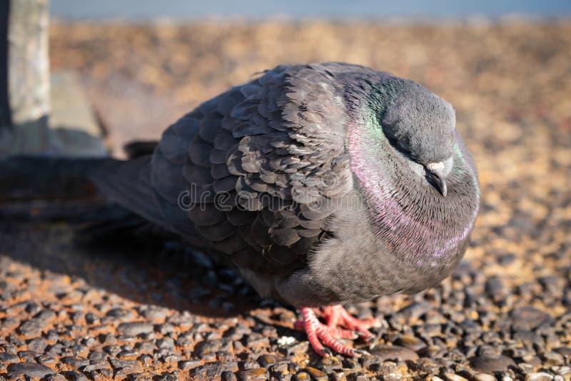 一共同的岩石pidgeon,睡觉在一个冷的早期的春日 库存照片
