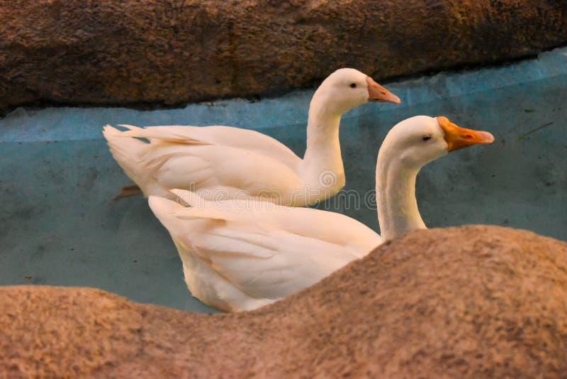 一前一后游泳在一个蓝色池塘曲线砂岩边缘的白色天鹅 免版税库存照片