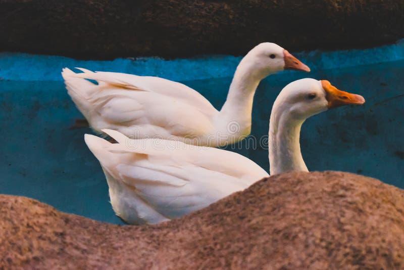 一前一后游泳在一个蓝色池塘曲线砂岩边缘的白色天鹅 库存图片