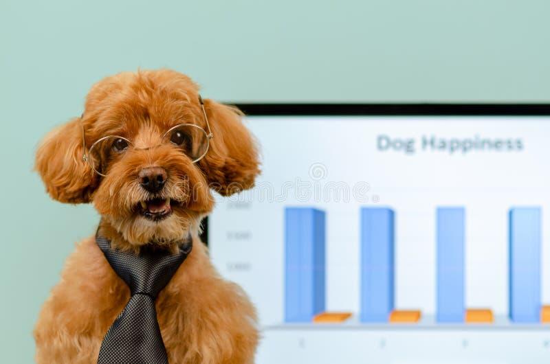 一副可爱的棕色玩具狮子狗狗佩带的领带和眼镜与狗可以去职场有所有者的概念 库存照片