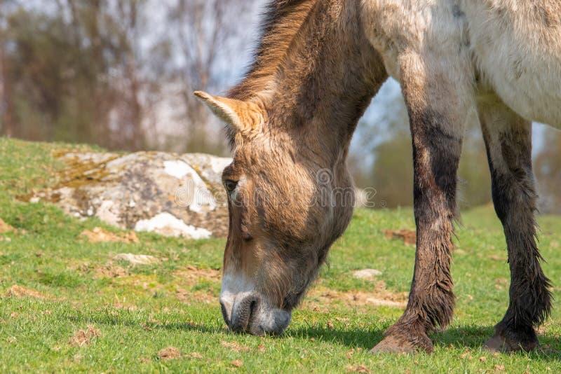 一匹孤零零Przewalski \ 's马在一个平缓坡度吃草在蓝色下 图库摄影