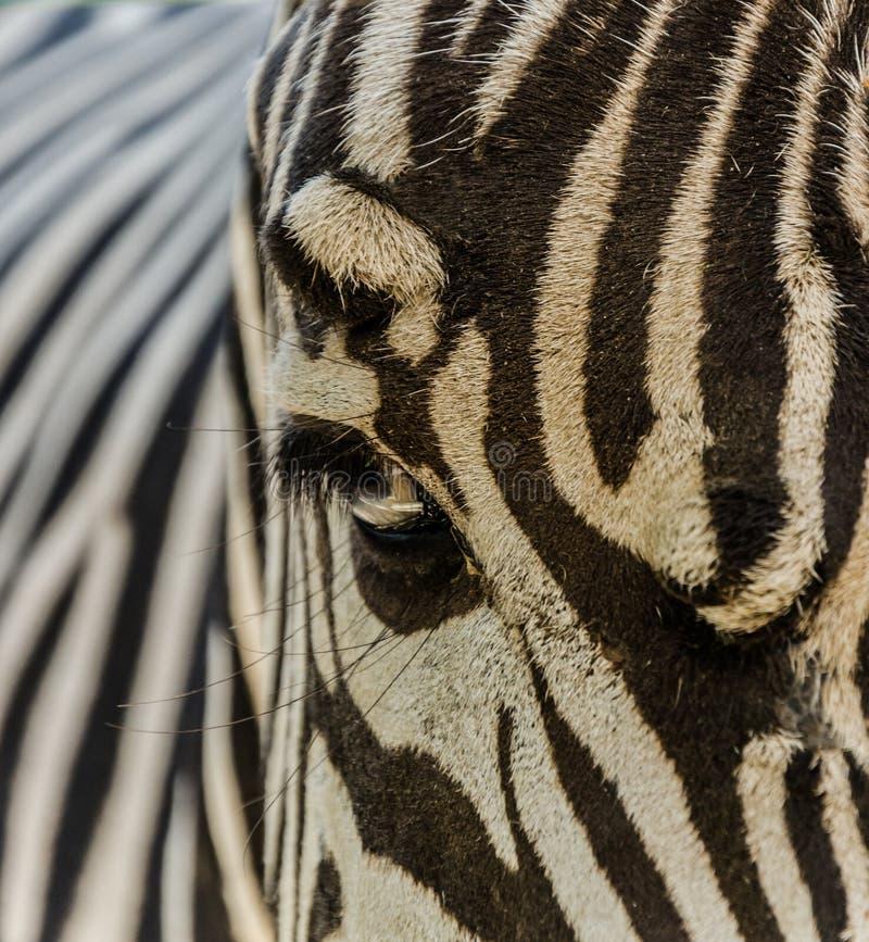 动物园斑马 库存照片