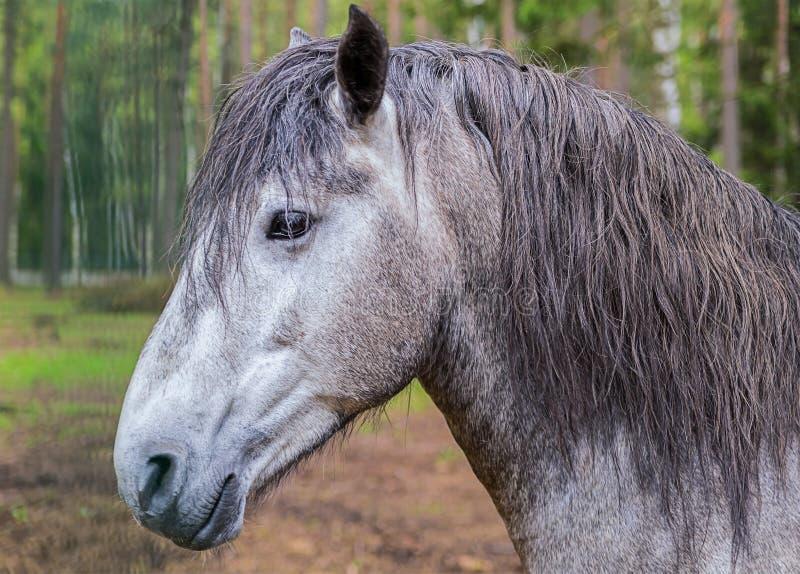 一匹灰色马的画象与聪明的神色的与锋利的耳朵和长的轰隆 图库摄影