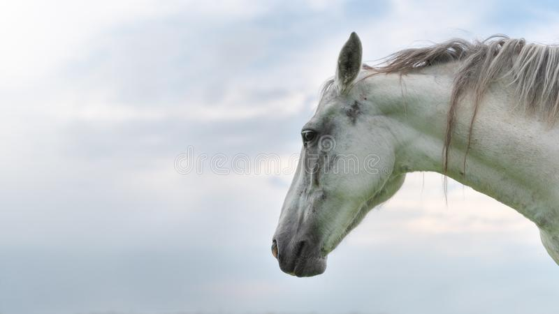 一匹白色公马的画象在天空的背景的,特写镜头 免版税库存图片
