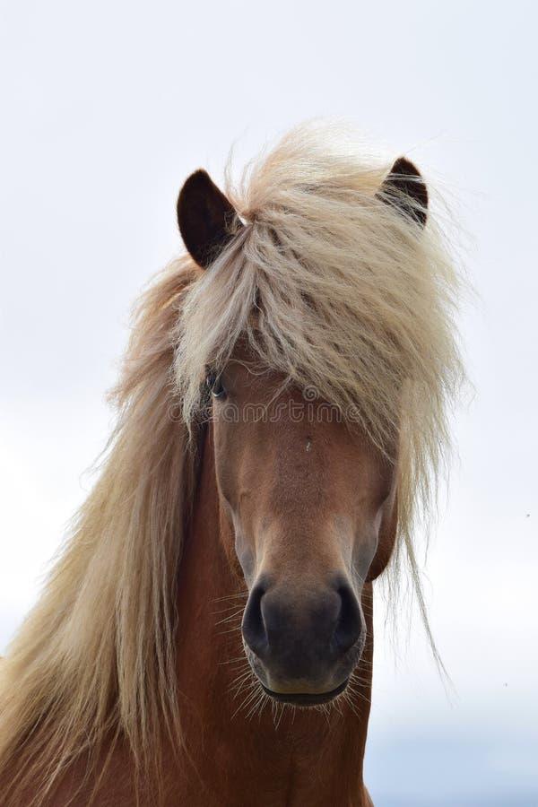 一匹美丽的冰岛公马的画象,亚麻栗子 免版税库存图片
