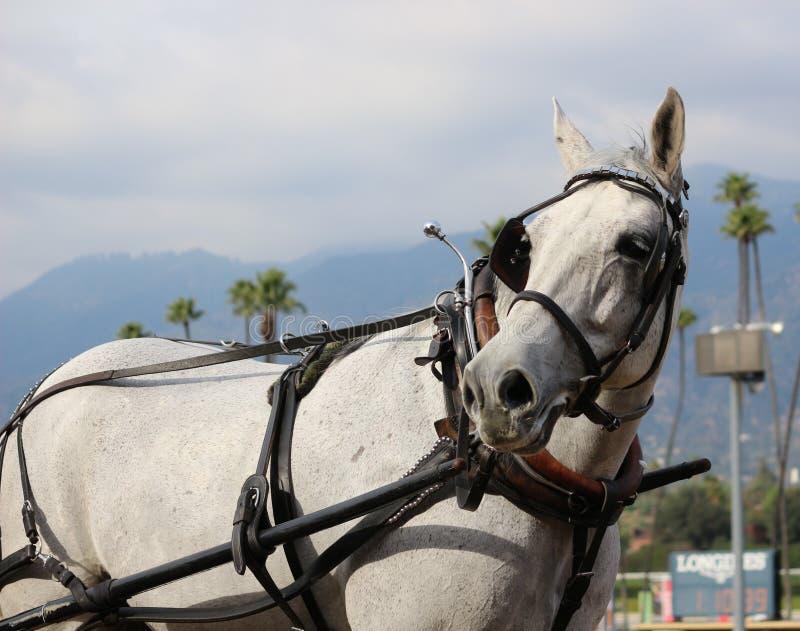 一匹美丽的灰色马 免版税库存图片