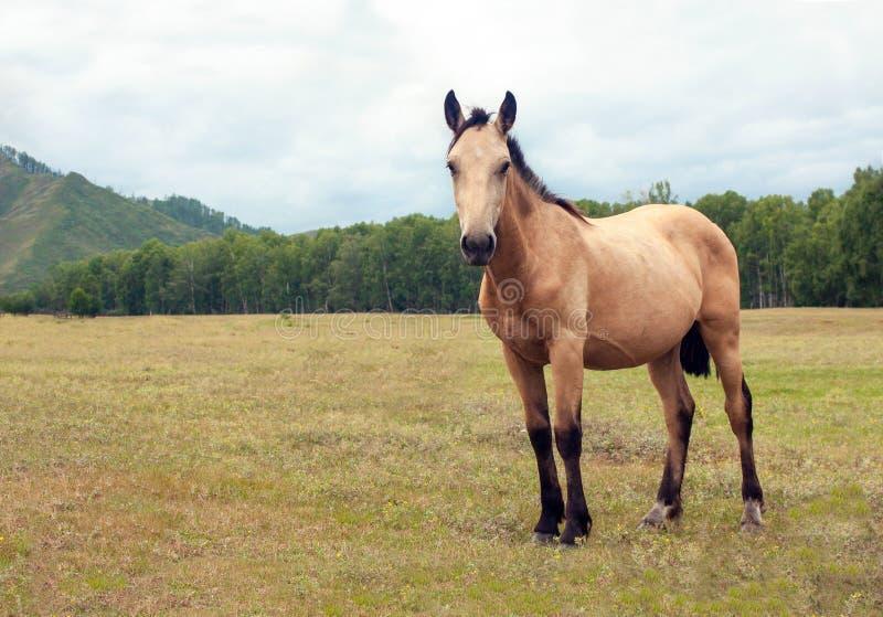 一匹非常美丽的保管妥当的浅褐色的马在一个美妙的高山草甸吃草,吃新鲜的绿草 山,大农场 免版税图库摄影