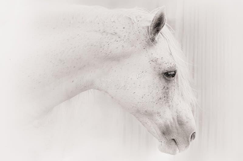一匹马的画象在白色钥匙的 免版税库存照片