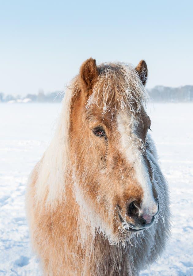 一匹马的画象与树冰的在它的鬃毛 免版税图库摄影