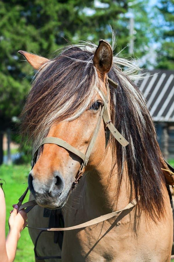 一匹马的画象与鬃毛的 免版税图库摄影