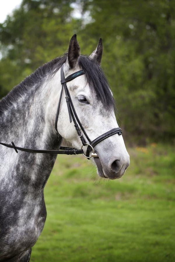一匹马的画象在步行的 免版税库存照片