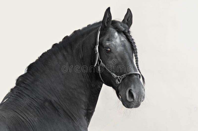 一匹黑弗里斯兰省人公马的画象在轻的背景的 免版税库存照片