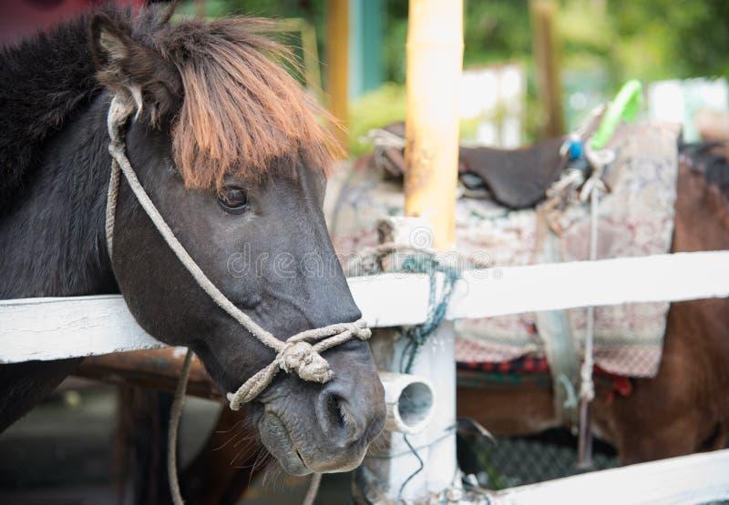 一匹黑马的图象,美丽的黑马,黑色的头 库存图片