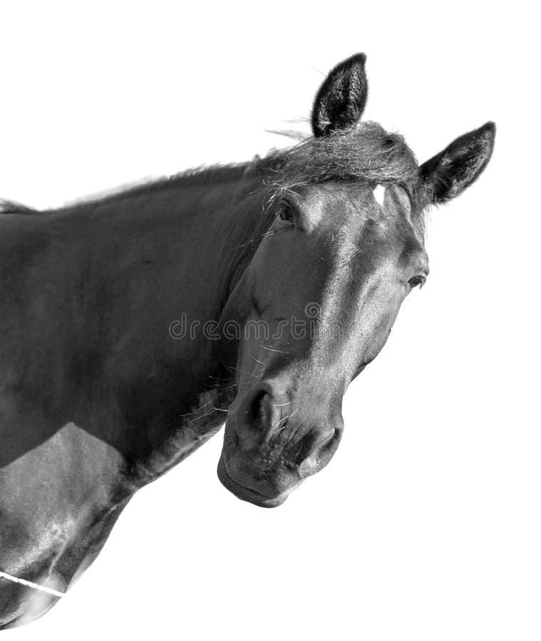 一匹黑马的画象在白色背景的 免版税库存图片