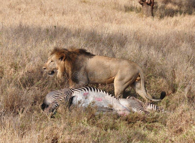 一匹grevy斑马7的狮子杀害 库存图片