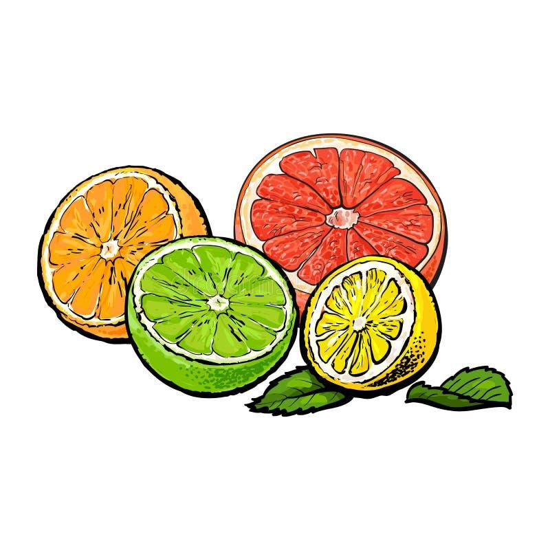 一半桔子,葡萄柚,石灰和柠檬,手拉的例证.图片