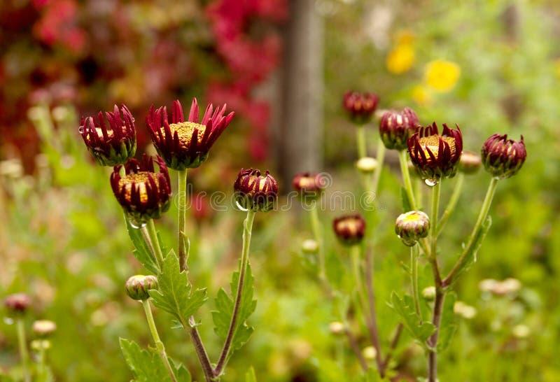一半被开张的菊花在秋天庭院里 免版税库存图片