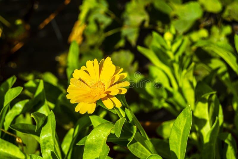 一半blured黄色花 库存照片