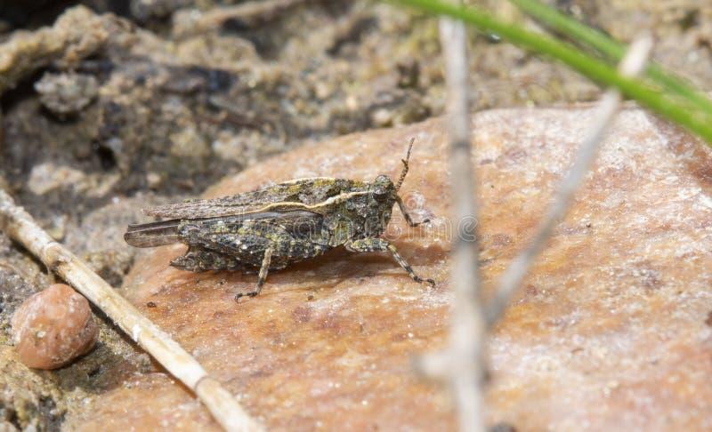 一华丽矮小蚂蚱Tetrix ornata在岩石栖息在一个湖在科罗拉多 免版税图库摄影