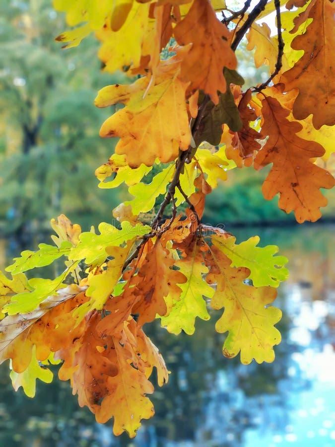 一句槭树谎言的五颜六色的叶子在绿草的在叶子下降期间在秋天 免版税图库摄影