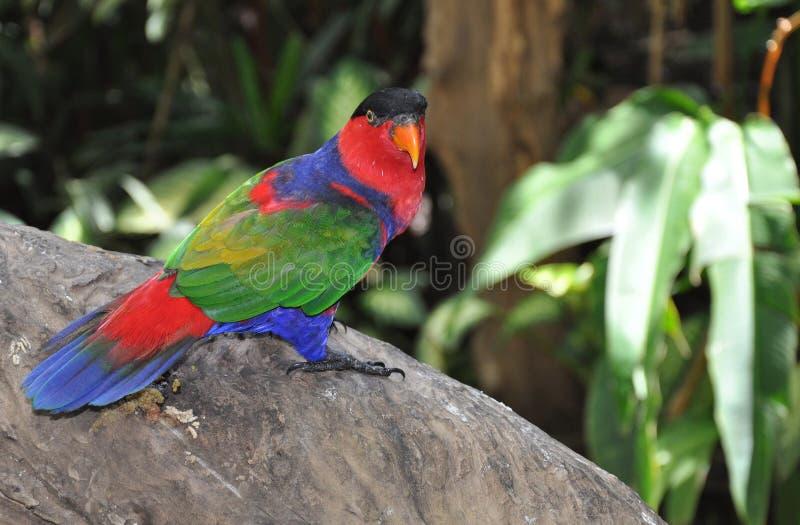 一只五颜六色的鹦鹉在一个热带庭院里在巴厘岛 免版税库存图片