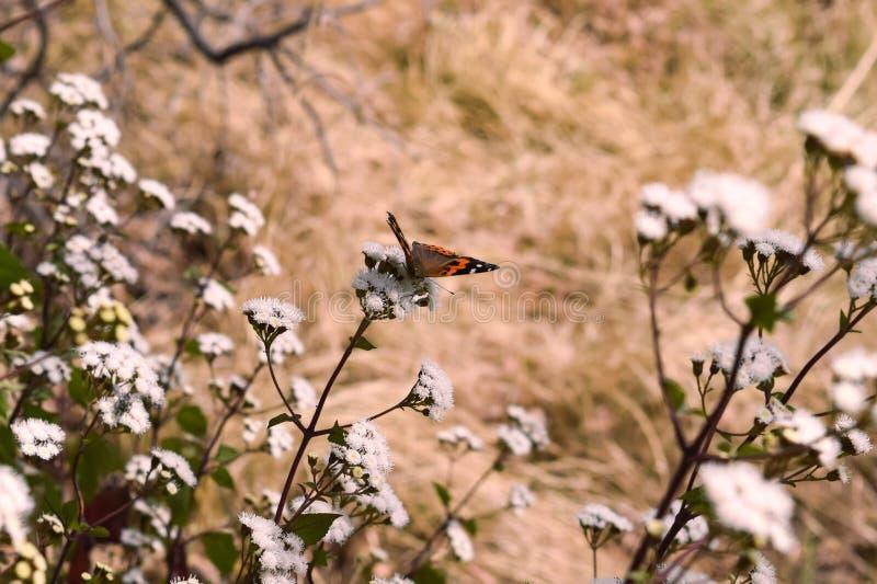 一只五颜六色的蝴蝶坐小花在Binsar位于阿尔莫拉的野生生物保护区森林里Uttrakhand 免版税库存照片
