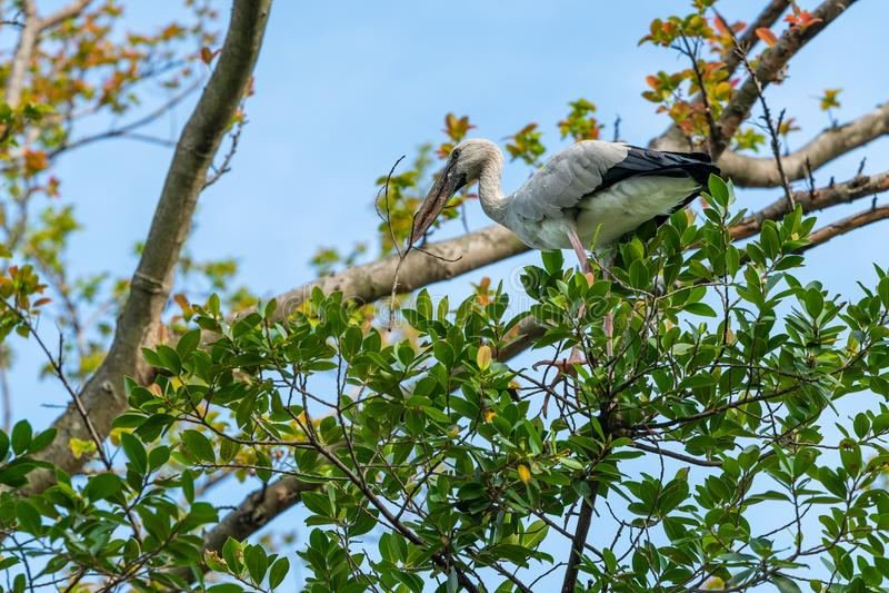 一只亚洲openbill鹳拾起从树的一个干分支 库存照片