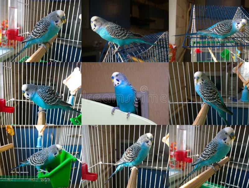 一只亲切蓝色波浪鹦鹉的一些foreshortenings 免版税库存图片