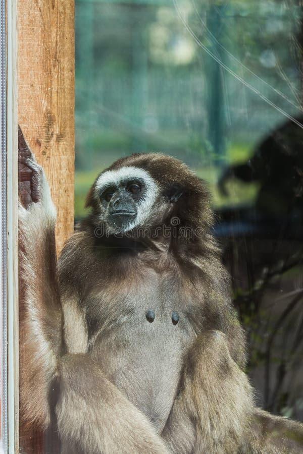 一只休息的长臂猿猴子的画象在glas后的 免版税库存照片