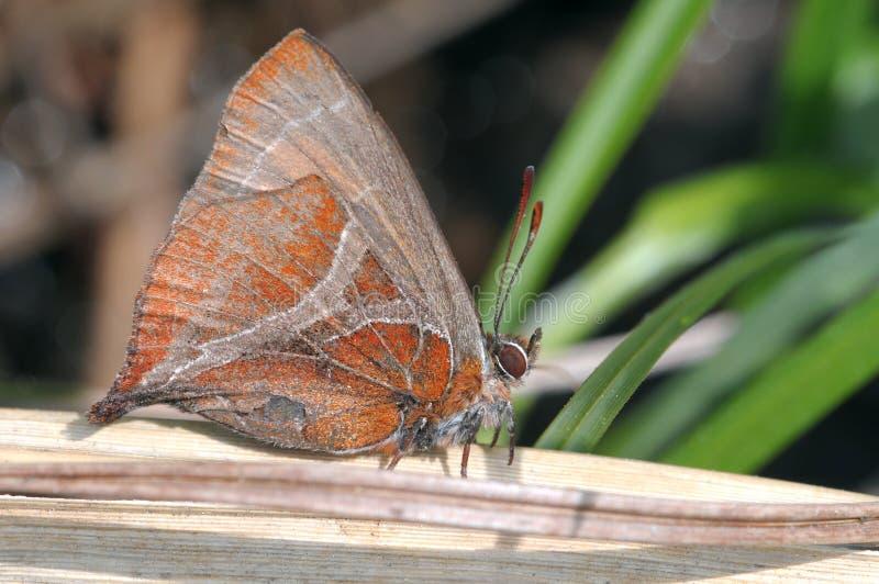 一只休息的蝴蝶 库存照片