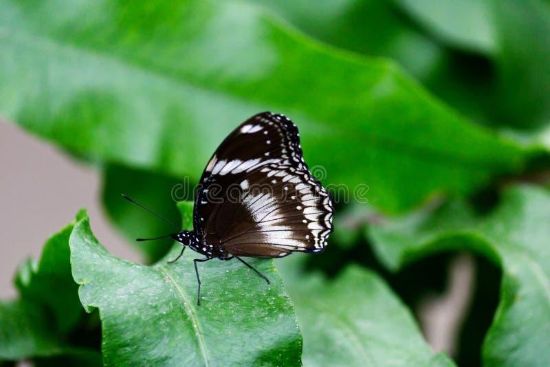 一只伟大的共同性eggfly蝴蝶的特写镜头 库存图片